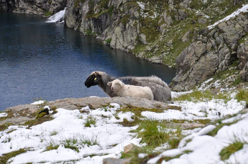 Wangenitzsee Schafe