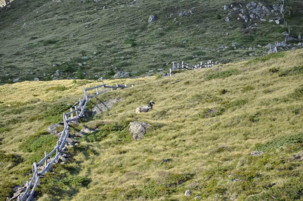 Schafe am Wiener Höhenweg