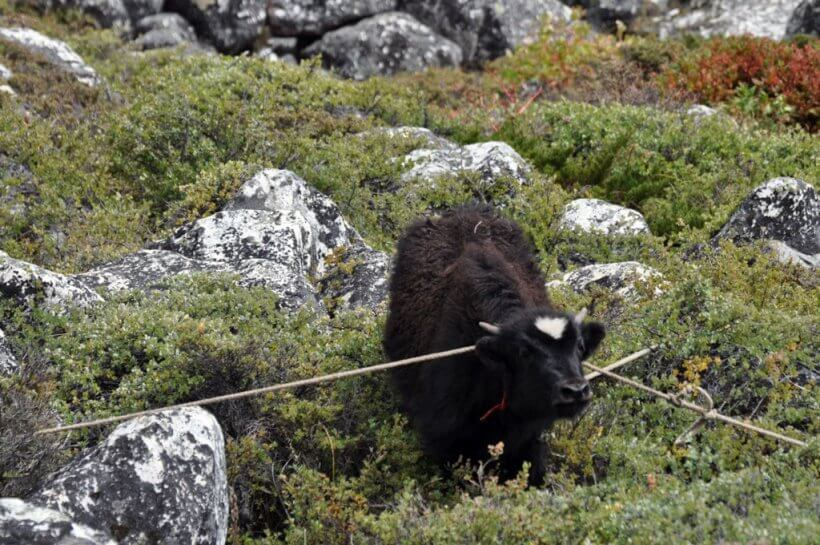 eine Kuh zwischen Chhukhung und Dingboche