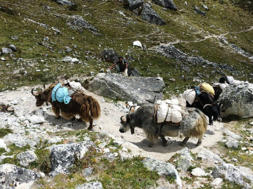 Yaks am Everest Trek